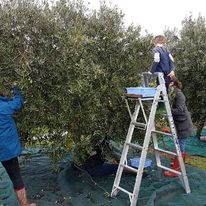 Island Extra Virgin Olive Oil is grown here on Phillip Island