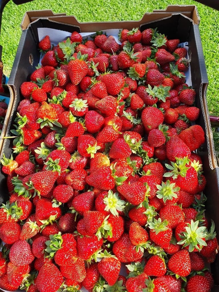 Phillip Island Strawberries is the first and only hydroponic strawberry farm on Phillip Island